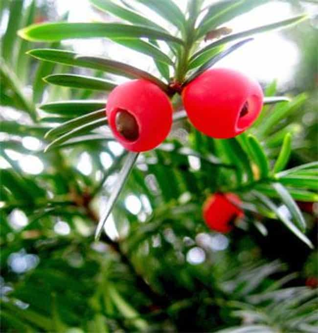 Yew Berries is listed (or ranked) 3 on the list The Top 10 Most Dangerous Fruits and Vegetables in the World