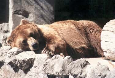 Bear is listed (or ranked) 1 on the list 13 Fascinating Animals That Hibernate