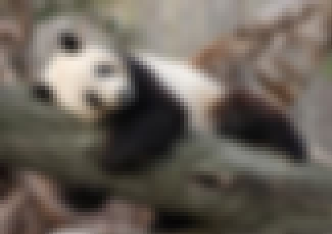 Tai Shan is listed (or ranked) 4 on the list The Cutest Famous Baby Pandas of All Time