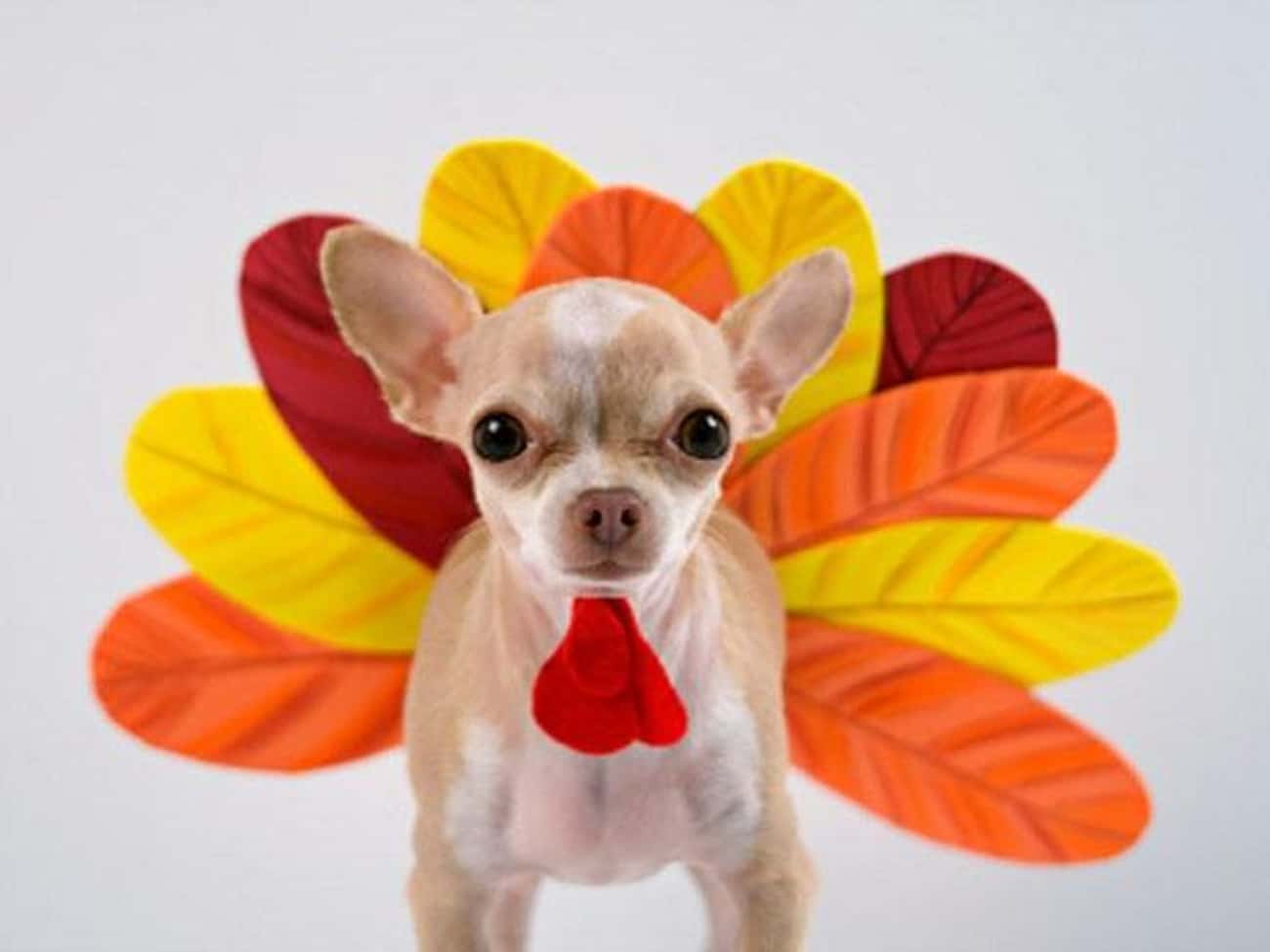 This Puppy's Wattle is the Bes is listed (or ranked) 1 on the list 41 Animals Who Are Very Excited for Thanksgiving