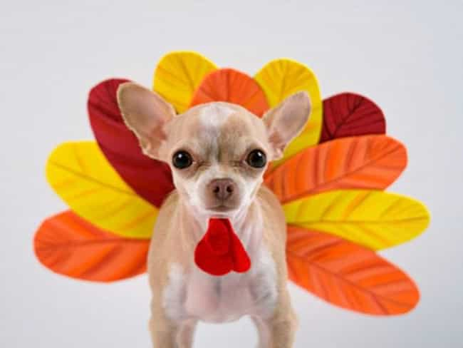 This Puppy's Wattle is the Bes... is listed (or ranked) 4 on the list 41 Animals Who Are Very Excited for Thanksgiving