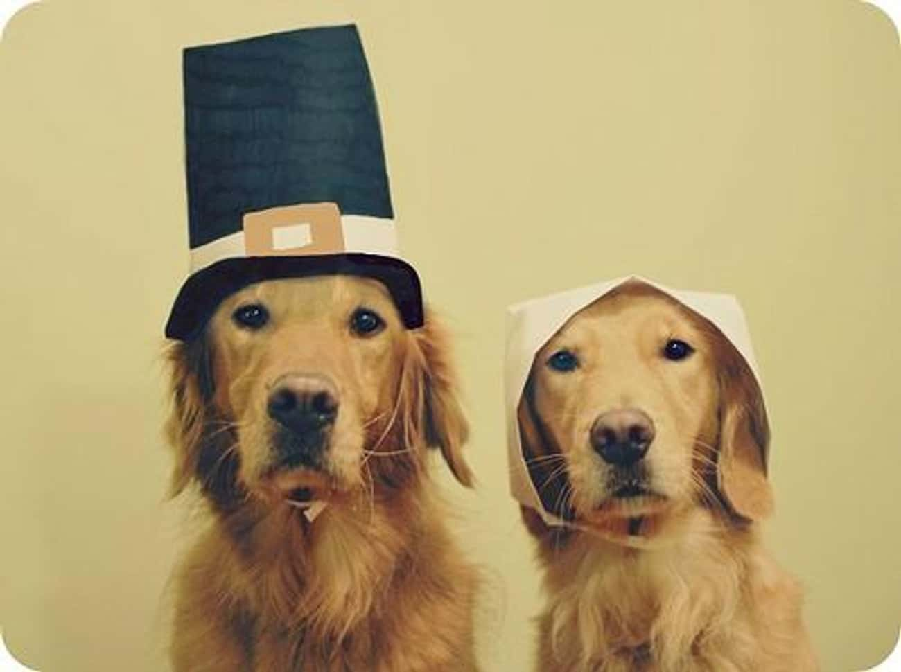 These Pilgrim Pups Don't Seem  is listed (or ranked) 4 on the list 41 Animals Who Are Very Excited for Thanksgiving