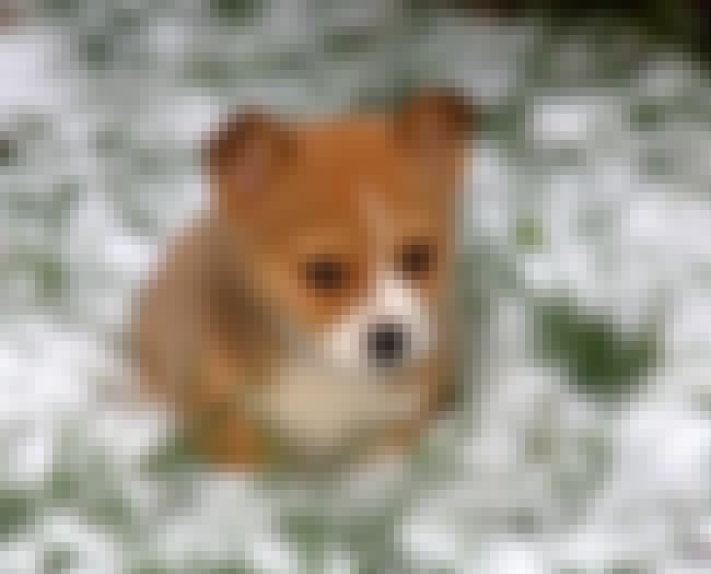 What Is This Strange White Stu... is listed (or ranked) 4 on the list The Cutest Corgi Pictures