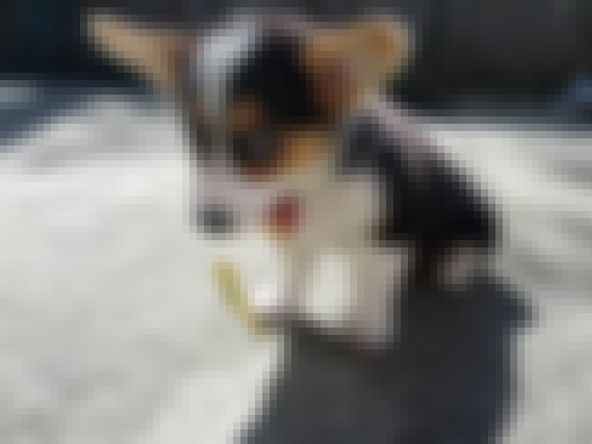 I'm Sorry! is listed (or ranked) 1 on the list The Cutest Corgi Pictures