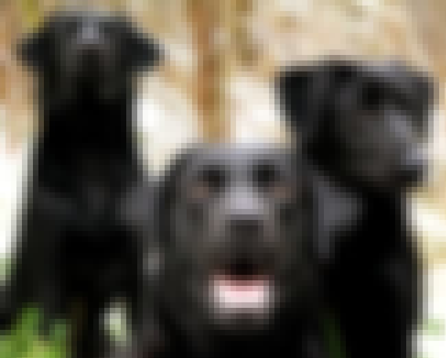 The Bold, the Brave, the Proud... is listed (or ranked) 4 on the list The Cutest Black Lab Pictures