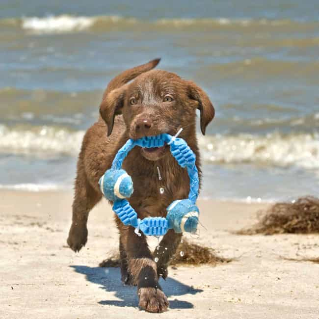Look What I Found! is listed (or ranked) 3 on the list The Cutest Chocolate Lab Pictures
