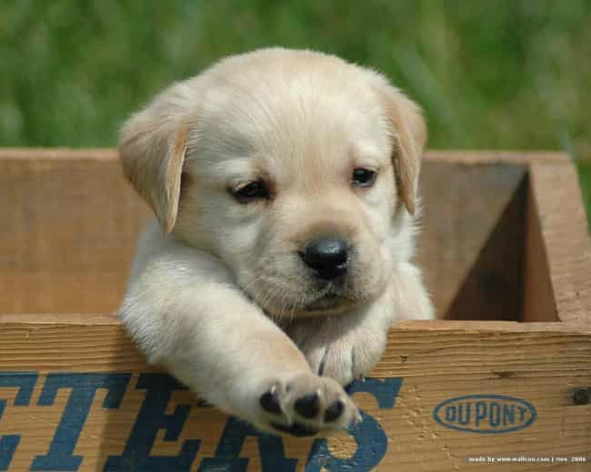 Are You My New Owner? is listed (or ranked) 1 on the list The Cutest Yellow Lab Pictures