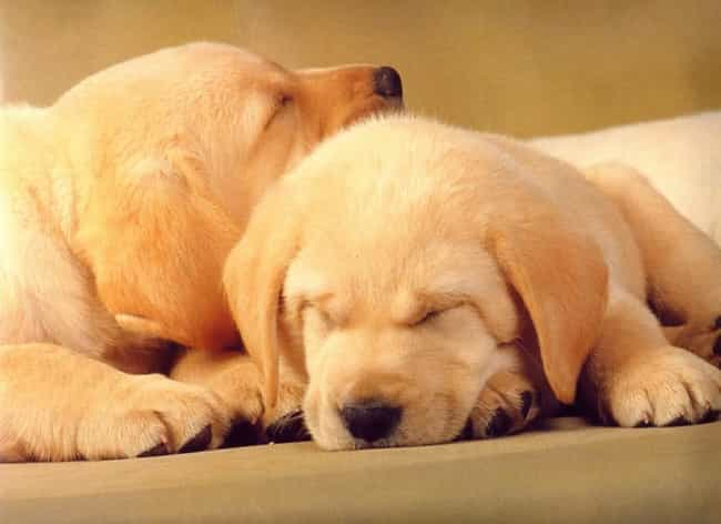 Nap Time! is listed (or ranked) 3 on the list The Cutest Yellow Lab Pictures