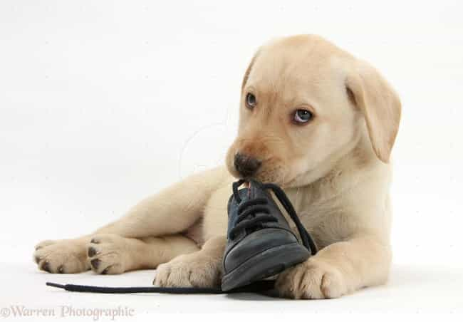 This WAS Mine Wasn't It? is listed (or ranked) 4 on the list The Cutest Yellow Lab Pictures