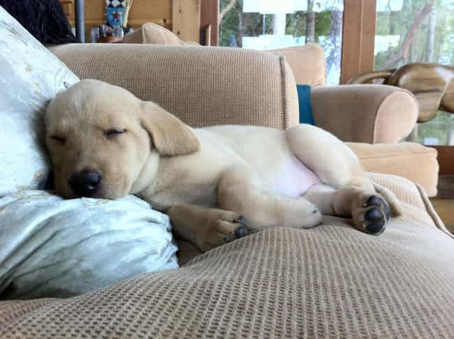 Sigh.... is listed (or ranked) 2 on the list The Cutest Yellow Lab Pictures