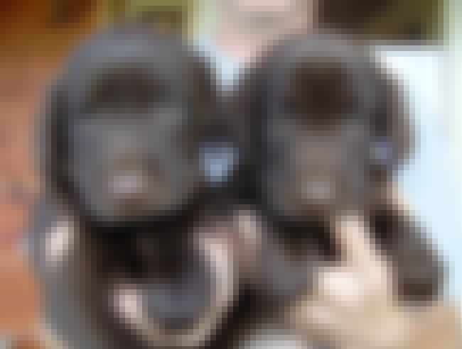Twinsies! is listed (or ranked) 2 on the list The Cutest Chocolate Lab Pictures