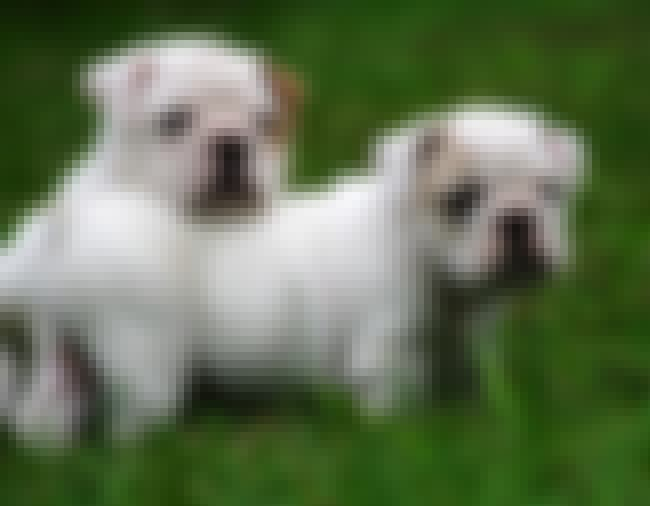 White Bulldog Pups is listed (or ranked) 3 on the list The Absolute Cutest Bulldog Pictures