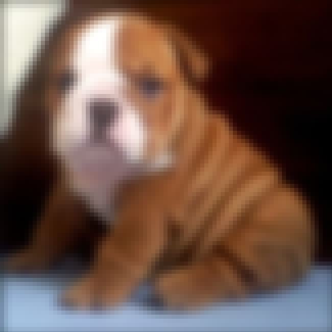 Wrinkly Bulldog Pup is listed (or ranked) 2 on the list The Absolute Cutest Bulldog Pictures