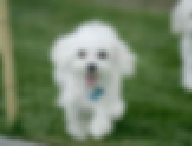 Happy Poodle is listed (or ranked) 2 on the list The Cutest Poodle Pictures