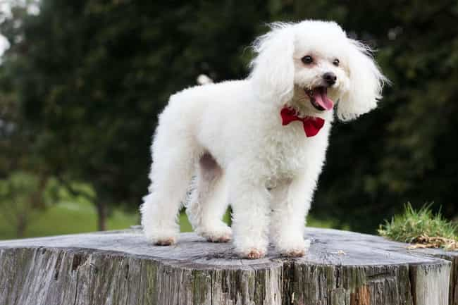 Happy Poodle is listed (or ranked) 4 on the list The Cutest Poodle Pictures