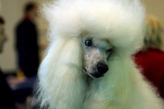Furious Poodle is listed (or ranked) 2 on the list The Cutest Poodle Pictures