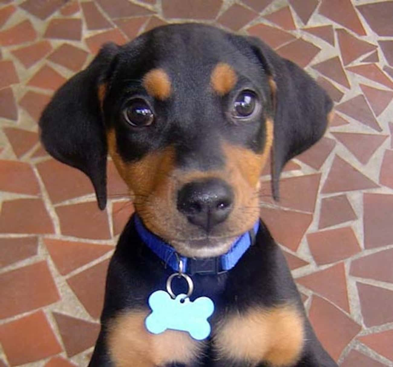 Begging Doberman is listed (or ranked) 4 on the list The Cutest Doberman Pictures