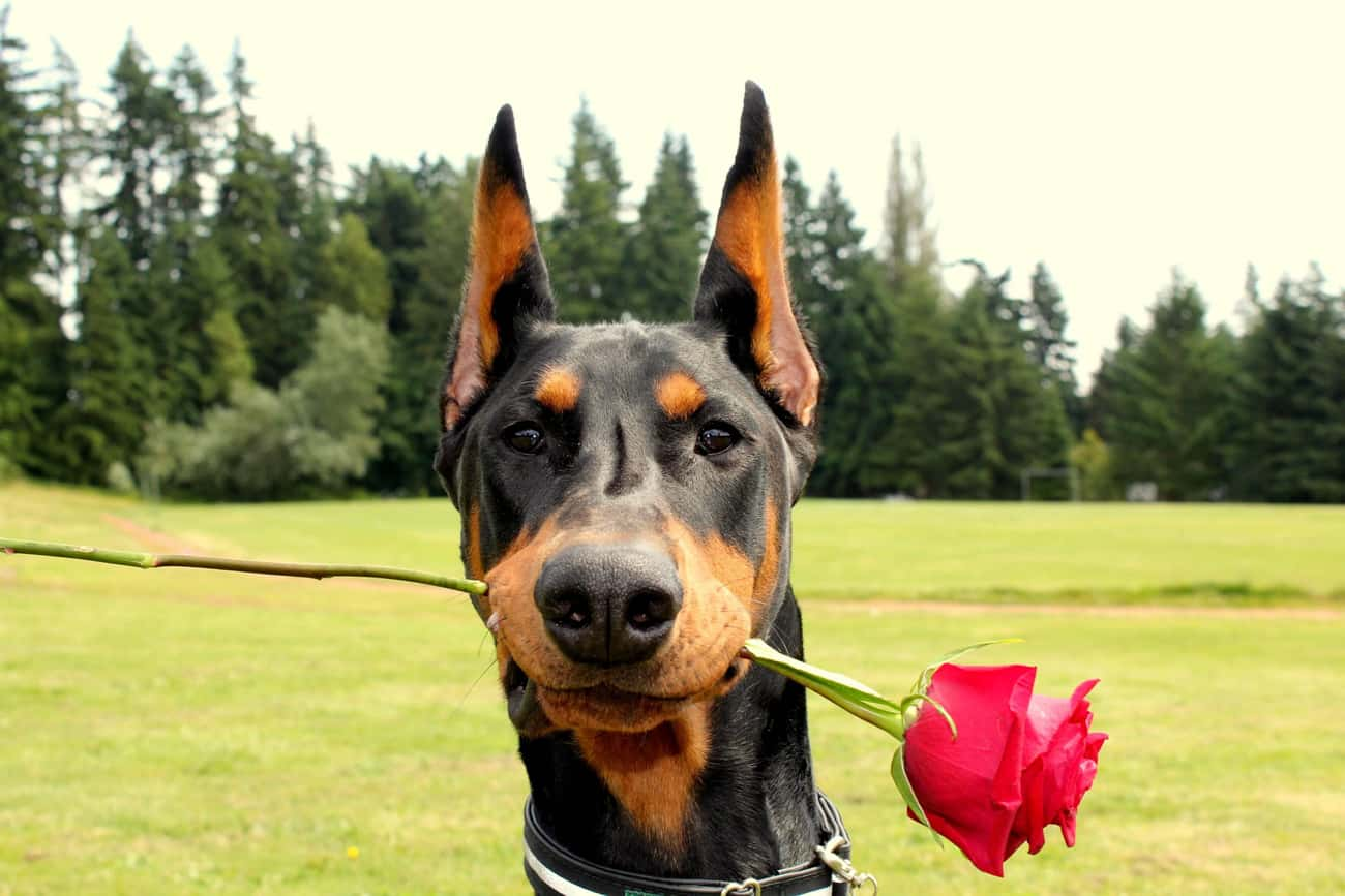 Doberman With a Rose is listed (or ranked) 1 on the list The Cutest Doberman Pictures