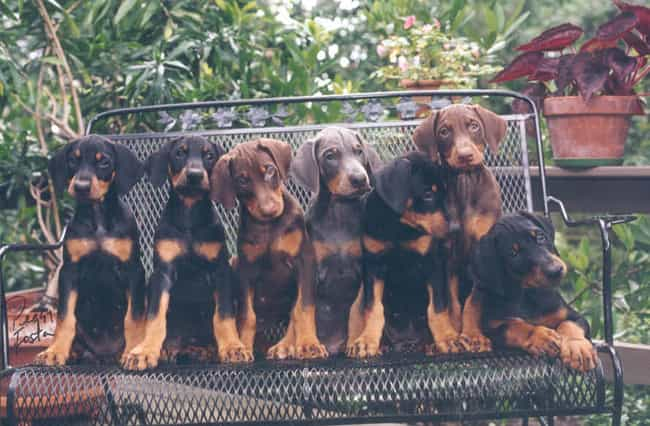 Doberman Pups On a Bench is listed (or ranked) 2 on the list The Cutest Doberman Pictures