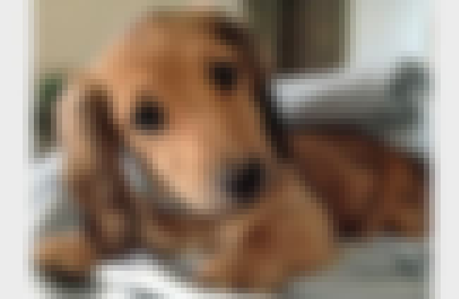 Big-Eyed Dachshund Pup is listed (or ranked) 4 on the list The Cutest Dachshund Pictures