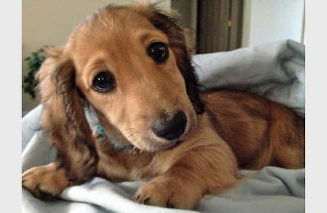 Big-Eyed Dachshund Pup is listed (or ranked) 3 on the list The Cutest Dachshund Pictures