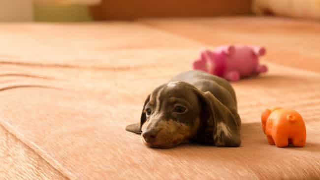 Baby Dachshund On the Couch is listed (or ranked) 1 on the list The Cutest Dachshund Pictures