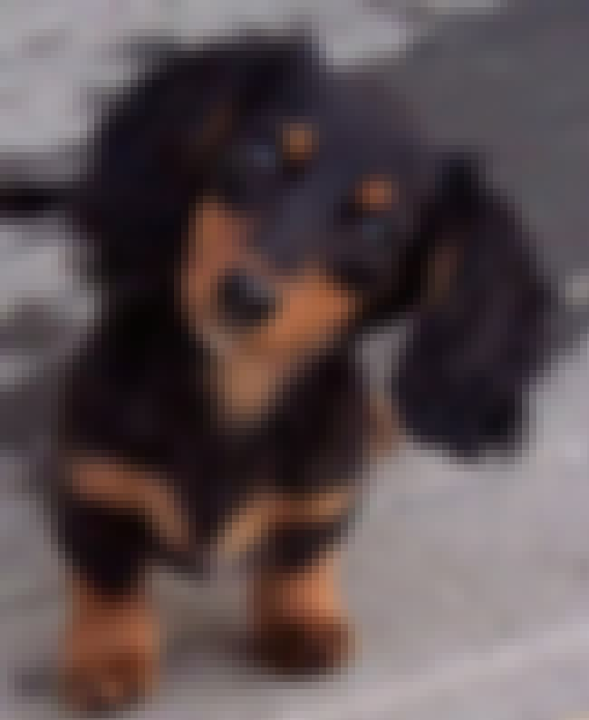 Scraggly-Eared Dachshund is listed (or ranked) 2 on the list The Cutest Dachshund Pictures