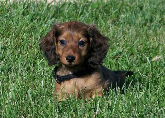 Baby Long Haired Dachshund In Is Listed Or Ranked 2