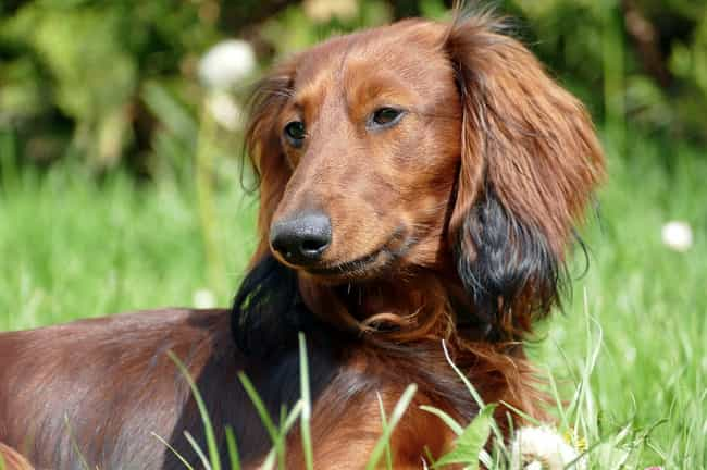 Long-Haired Dachshund in... is listed (or ranked) 3 on the list The Cutest Dachshund Pictures