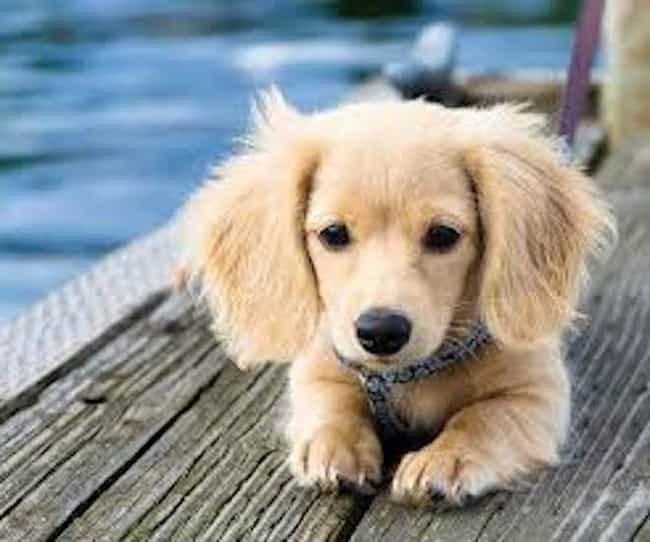 Blond Dachshund Pup Is Listed Or Ranked 1 On The List Cutest Longhaired