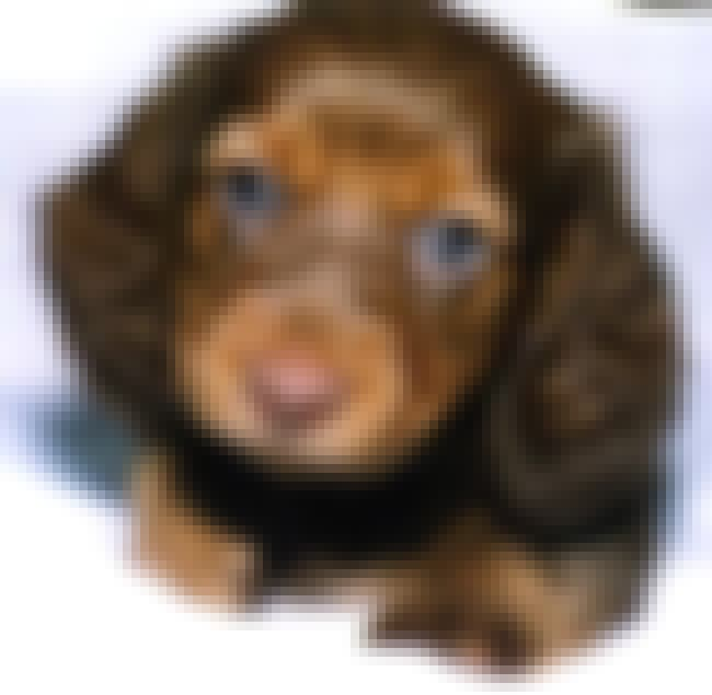 Blue Eyed Puppy is listed (or ranked) 4 on the list The Cutest Longhaired Dachshund Pictures