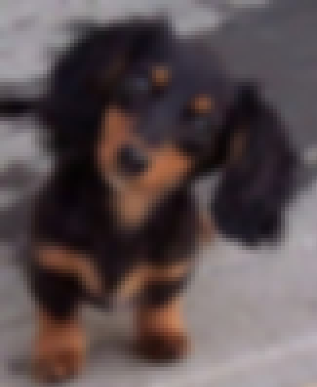 Inquiring Pup is listed (or ranked) 3 on the list The Cutest Longhaired Dachshund Pictures