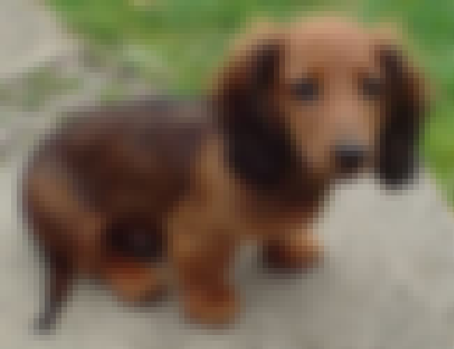 Dachshund in the Garden is listed (or ranked) 1 on the list The Cutest Longhaired Dachshund Pictures
