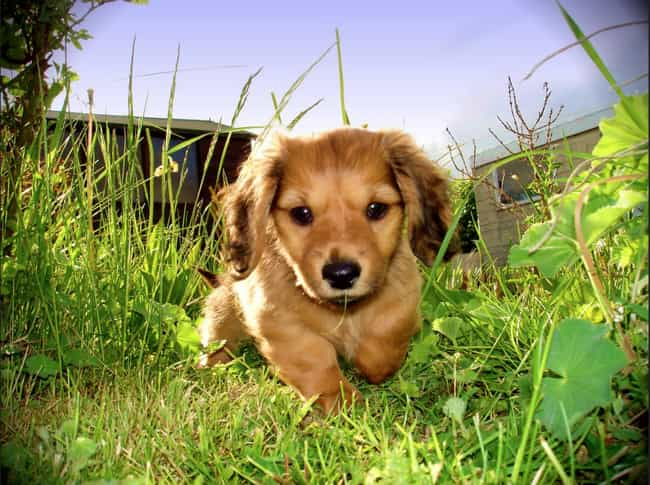 Dachshund in the Garden ... is listed (or ranked) 1 on the list The Cutest Dachshund Pictures