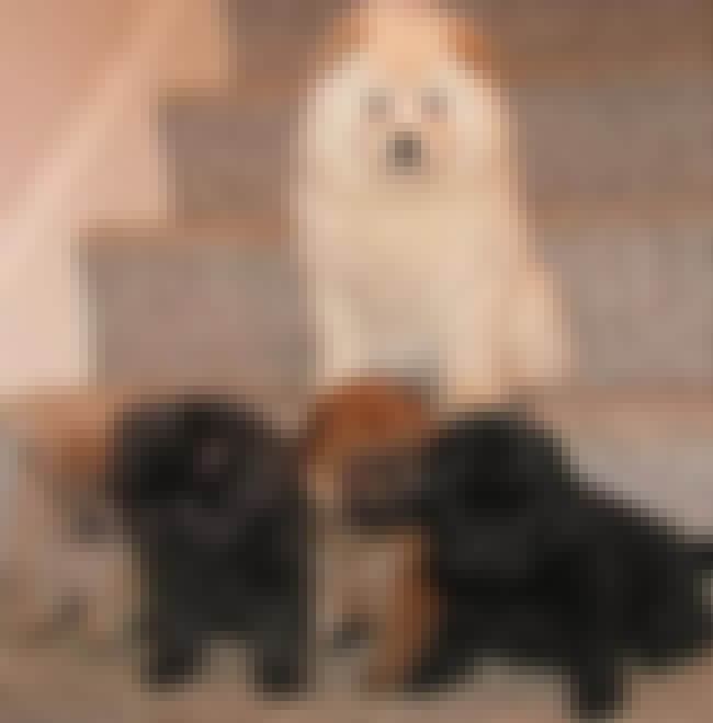 Chow Family is listed (or ranked) 4 on the list The Cutest Chow Chow Pictures