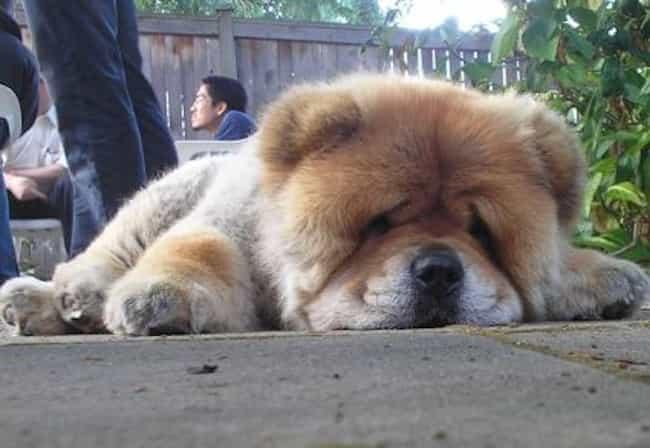 Resultado de imagen para chow chow sleeping funny