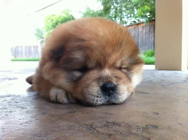 The Cutest Chow Chow Pictures