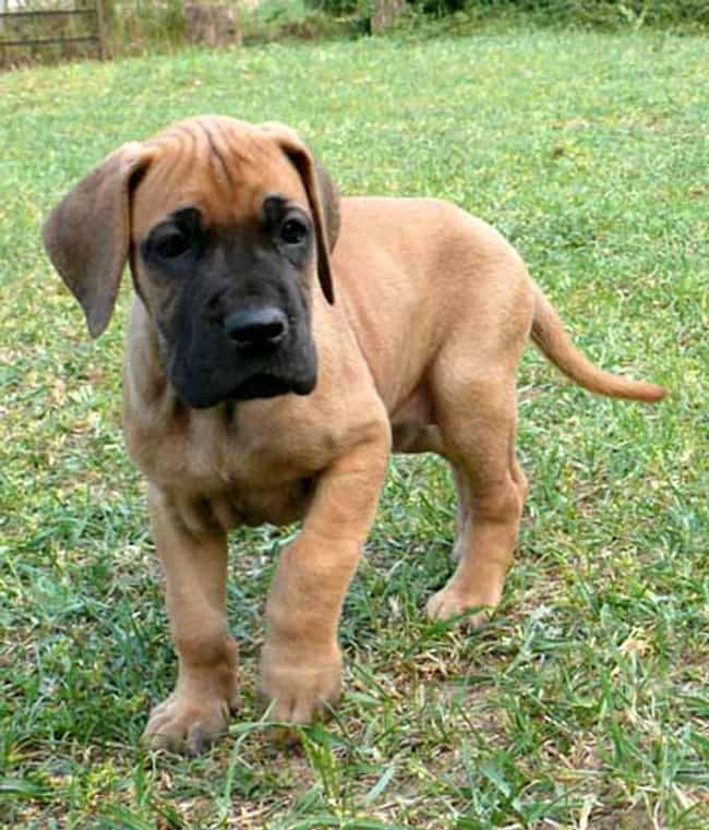 Great Dane Pup in the Backyard is listed (or ranked) 1 on the list The Cutest Great Dane Pictures