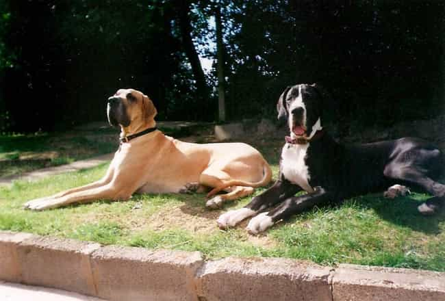 Sunbathing Great Danes is listed (or ranked) 3 on the list The Cutest Great Dane Pictures