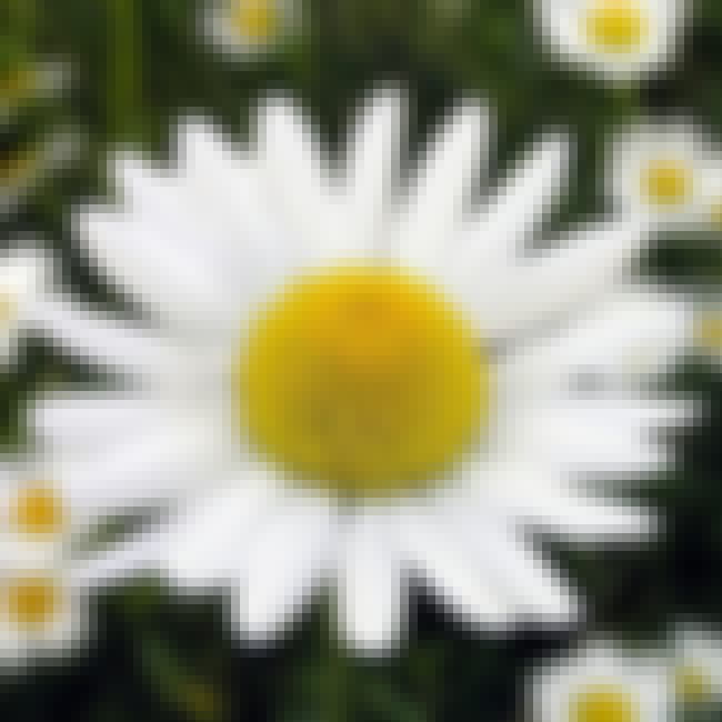 Chamomile is listed (or ranked) 2 on the list The Best Essential Oils for Anxiety