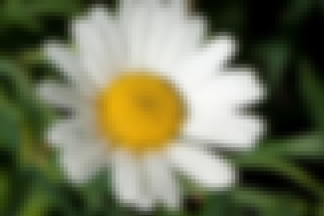 Chamomile is listed (or ranked) 1 on the list The Best Essential Oils for Asthma