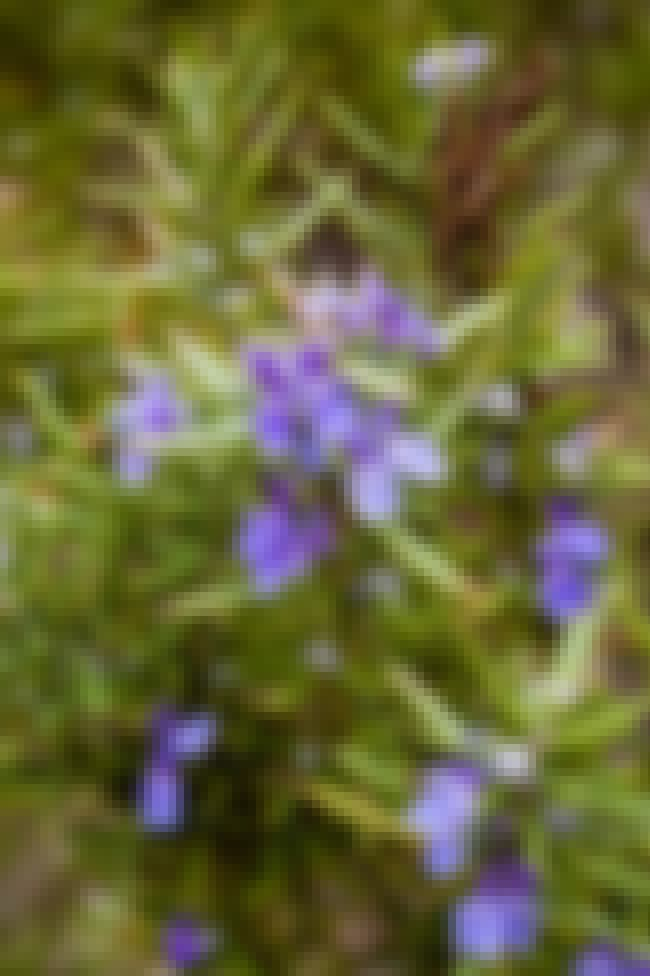 Rosemary is listed (or ranked) 4 on the list The Best Essential Oils for a Cough