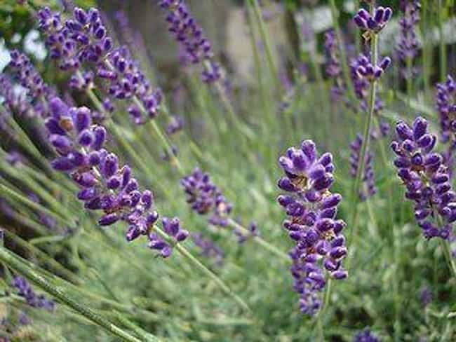 Lavender is listed (or ranked) 2 on the list 16 Essential Oils to Use When Cleaning Wood