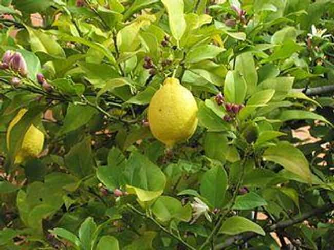 Lemon is listed (or ranked) 3 on the list 16 Essential Oils to Use When Cleaning Wood