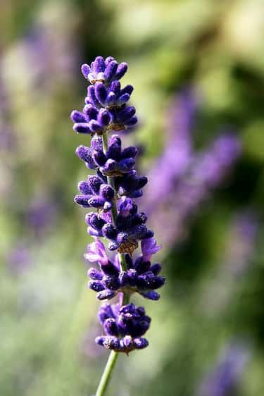 Lavender is listed (or ranked) 1 on the list The Best Essential Oils to Use as Air Fresheners