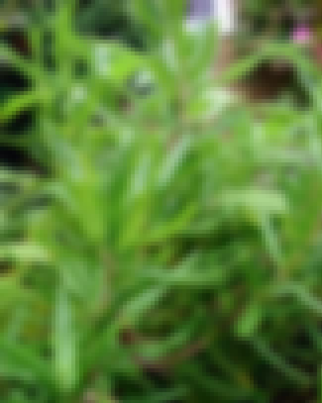Rosemary is listed (or ranked) 4 on the list The Best Essential Oils for Hair Loss