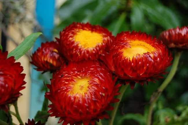 Helichrysum is listed (or ranked) 2 on the list The Best Essential Oils for Itchy Skin