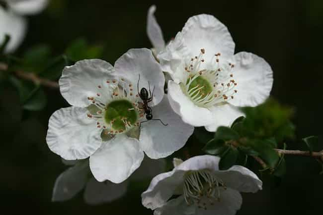 Tea Tree is listed (or ranked) 3 on the list The Best Essential Oils for Itchy Skin