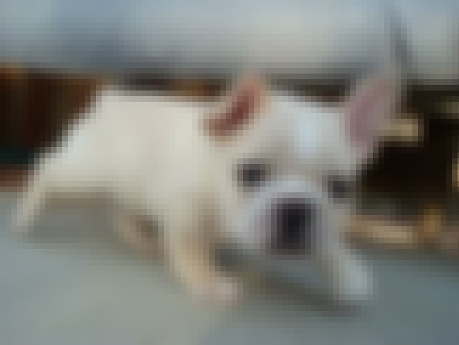 Creepin' Frenchie is listed (or ranked) 1 on the list The Cutest French Bulldog Pictures