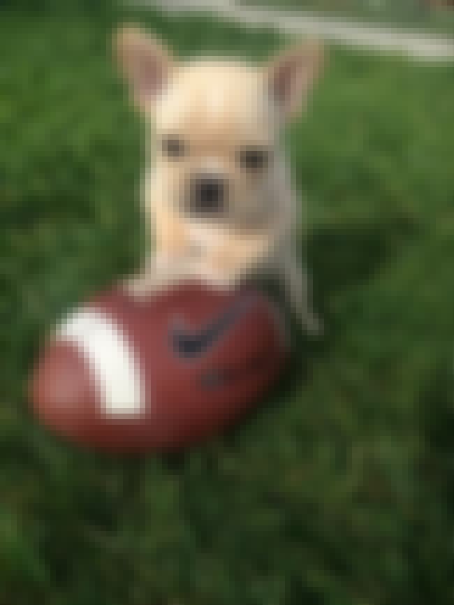 Frenchie With a Football is listed (or ranked) 4 on the list The Cutest French Bulldog Pictures